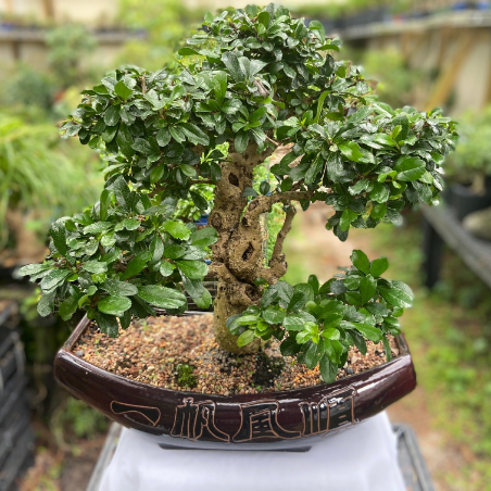 Jim S Bonsai 2020 Santacaligon Days Festival